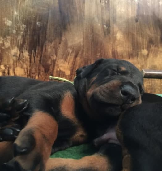 Nuova cucciolata dobermann – New Puppies in the Kennel